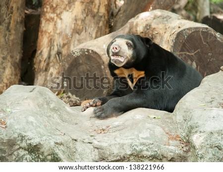 Malayan sun bear, Honey bear - stock photo