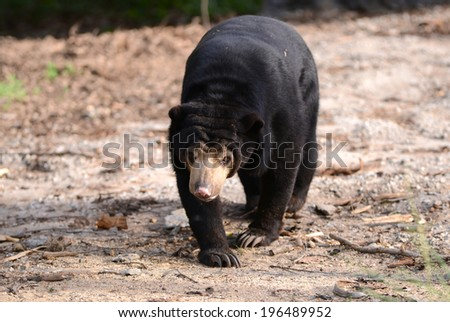 malayan sun bear walking forward - stock photo