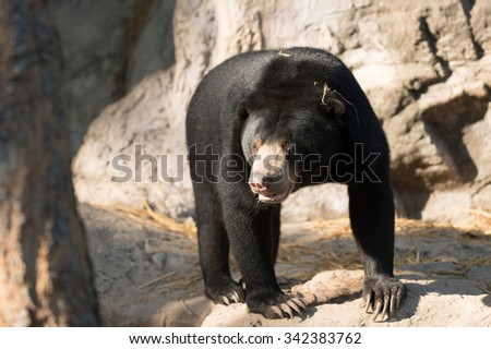 malayan sunbear or honey bear ( Helarctos malayanus )