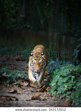 Malayan tiger on a walk. Tiger walking along forest path against dark background - stock photo
