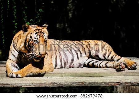 Malayan tiger - Panthera tigris jacksoni - stock photo
