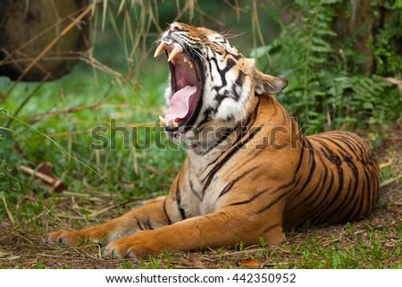 Malayan Tiger (Panthera Tigris Jacksoni)  - stock photo