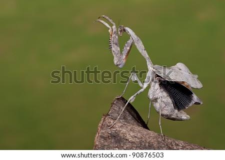 Malaysian Dead Leaf Mantis (Deroplatys Lobata) showing her inner wings - stock photo