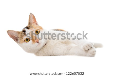 Malaysian short haired cat lying on white background