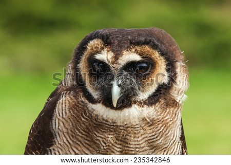 Malaysian wood owl head and shoulders. A close up head and shoulders view of a lovely malaysian wood owl. - stock photo