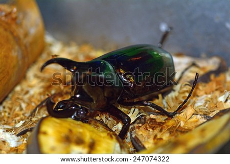 MALAYZIA, KUALA LUMPUR - January 8: Atlas beetle in the Butterfly Park at January 8, 2015 in Malaysia, Kuala Lumpur. KL Butterfly Park has a huge butterfly and insect collection. - stock photo