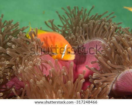 Maldives anemonefish, or blackfooted clownfish, Amphiprion nigripes, endemic to Maldives and Sri Lanka, in magnificent sea anemone, Heteractis magnifica