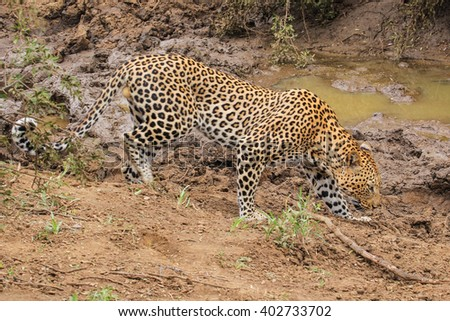 Male adult leopard on the prowl, South Africa