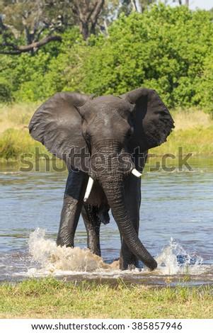 Male African Elephant in water in Khwai Reserve in Botswana - stock photo