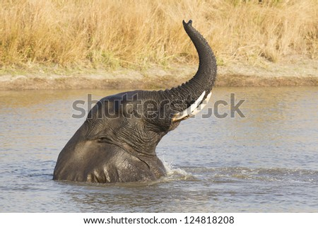 Male African Elephant swimming and playing in water, Kruger Park, South Africa, (Loxodonta africana)