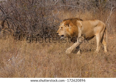male african lion in South Africa - stock photo