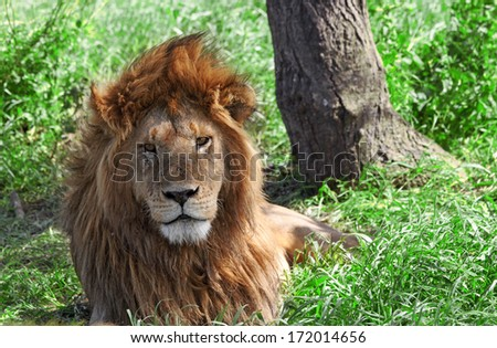 Male African Lion in the Serengeti national park, Tanzania - stock photo