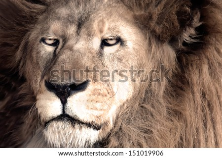 Male African Lion (Panthera leo) - stock photo