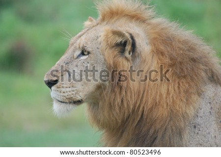 Male African Lion (Panthera leo) gazing at prey in Kruger National Park, South Africa - stock photo