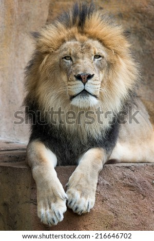 Male African lion (Panthera leo) relaxing on ledge - stock photo