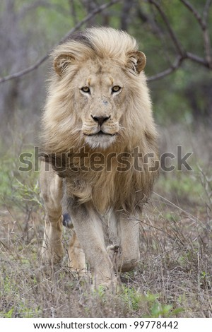 Male African Lion (Panthera leo) running, Kruger Park, South Africa - stock photo