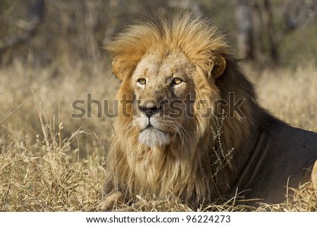 Male African Lion (Panthera leo), South Africa
