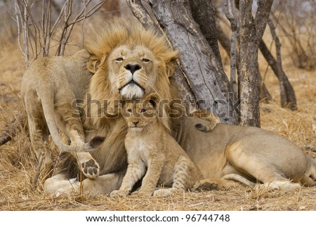 Male African Lion (Panthera leo) with cub, South Africa - stock photo