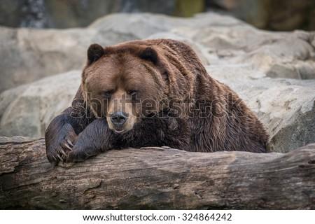 Male Alaskan Brown Bear resting on log - stock photo