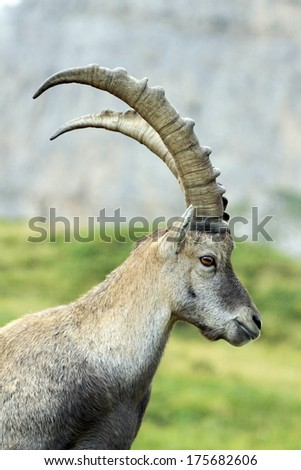 Male alpine ibex (capra ibex) or steinbock portrait in Alps mountain, France - stock photo