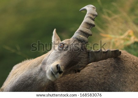 Male alpine ibex (capra ibex) or steinbock scratching in Alps mountain, France - stock photo