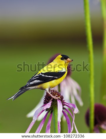 Male American Goldfinch (Carduelis tristis) also known as the Eastern Goldfinch and Wild Canary. - stock photo
