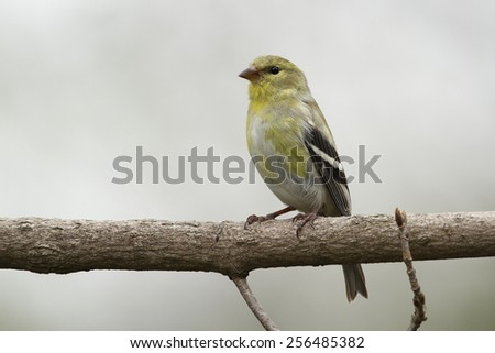 Male American Goldfinch (Spinus tristus) in Spring Moult - Ontario, Canada - stock photo