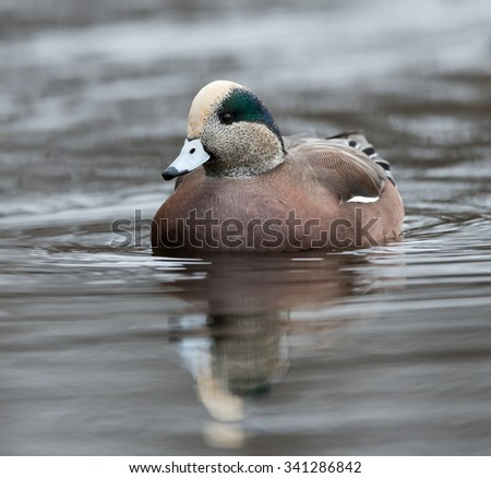 Male American Widgeon or Wigeon Swimming