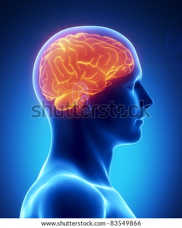 Male anatomy of human brain in x-ray view - stock photo