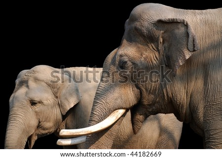 Male and female asiatic elephant on black - stock photo