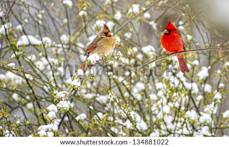 Male and Female Cardinals sit together on a snowy rose bush. - stock photo