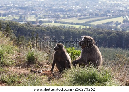 Male and female chacma baboon overlooking Cape Town, South Africa - stock photo