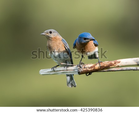 Male and Female Eastern Bluebird on Green Background - stock photo