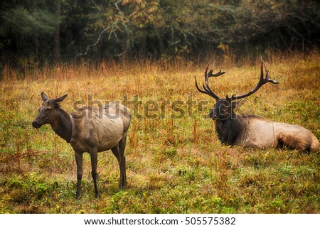 Male and female elk during rut season in Cataloochee Valley Smoky Mountains National Park North Carolina