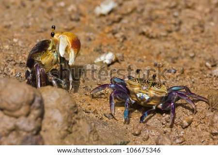 male and female fiddler crab - stock photo