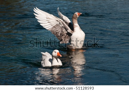 male and female geese - stock photo