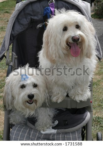 male and female havanese dogs