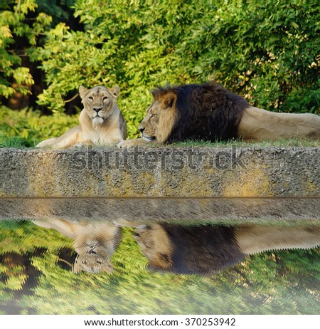 Male and female lion during siesta - stock photo