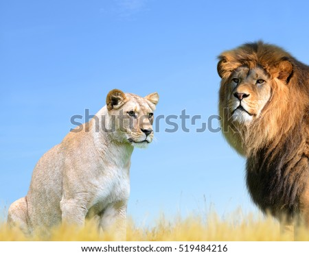Male and female lion on the savannah.