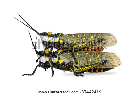 Male and Female Malaysian locust having sex, aurlarches milliaris, in front of white background, studio shot - stock photo