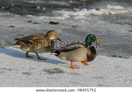 Male and female Mallards walking on snow