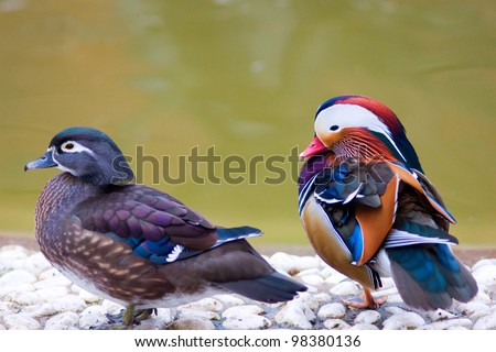 Male and female mandarin ducks (Aix galericulata) - stock photo