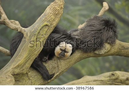 male and female monkeys resting on a tree branch in the rain forest - stock photo