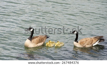 Male and Female, mother and father Canada geese, scientific name Branta canadensis, swimming with their goslings in the San Francisco Bay.