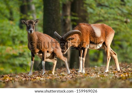 Male and female mouflon in the rut in the forest, blurred background - stock photo
