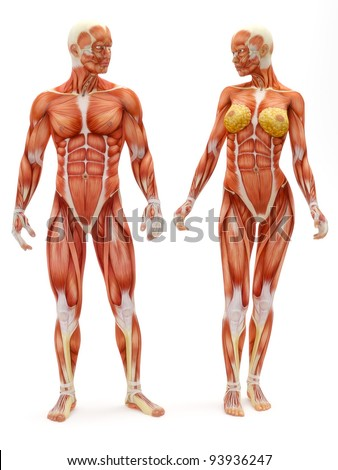 Male and Female muscular skeletal system isolated on a white background .Part of a muscle medical series. - stock photo