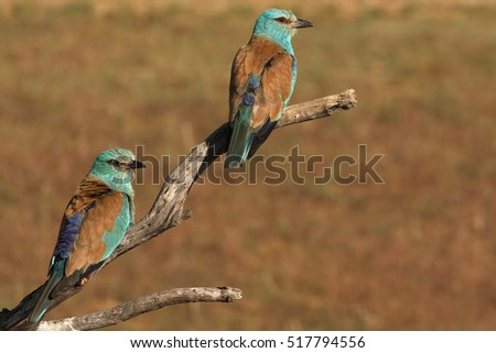 Male and female of European roller. Coracias garrulus