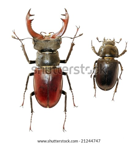 Male and female of stag-beetle - the largest beetle of Europa