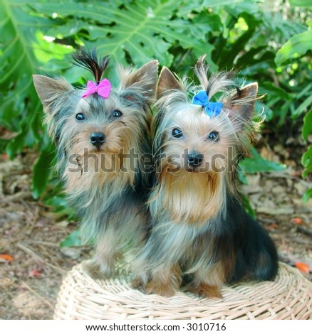 Male and female pure breed yorkshire terriers - stock photo