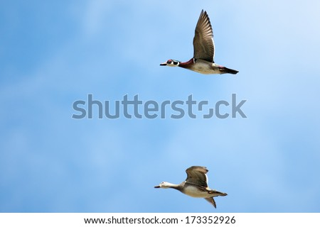 Male and Female wood ducks in flight with cloud and blue sky background - stock photo